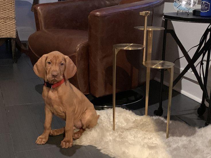 vizsla dogs for sale in florida