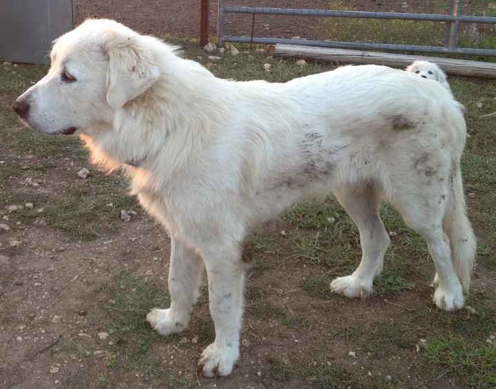 Shaved Great Pyrenees With Images Great Pyrenees Top Dog