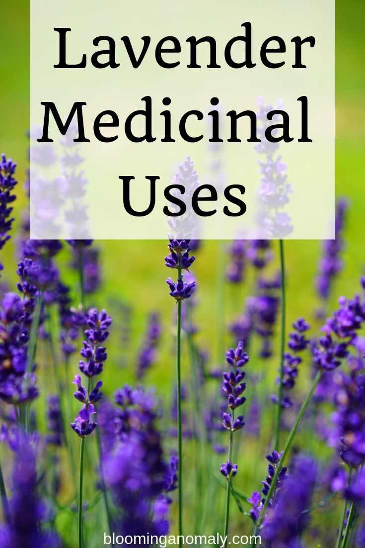 Do You Love Lavender Did You Know There Are Many Medicinal Uses For This Lovely Smelling Plant Click On The Pin To Lear Gardening Tips Medicine Lavender Uses
