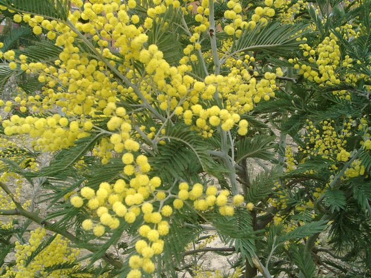 Mimosa flowers for Russian Women's Day March 8th :)