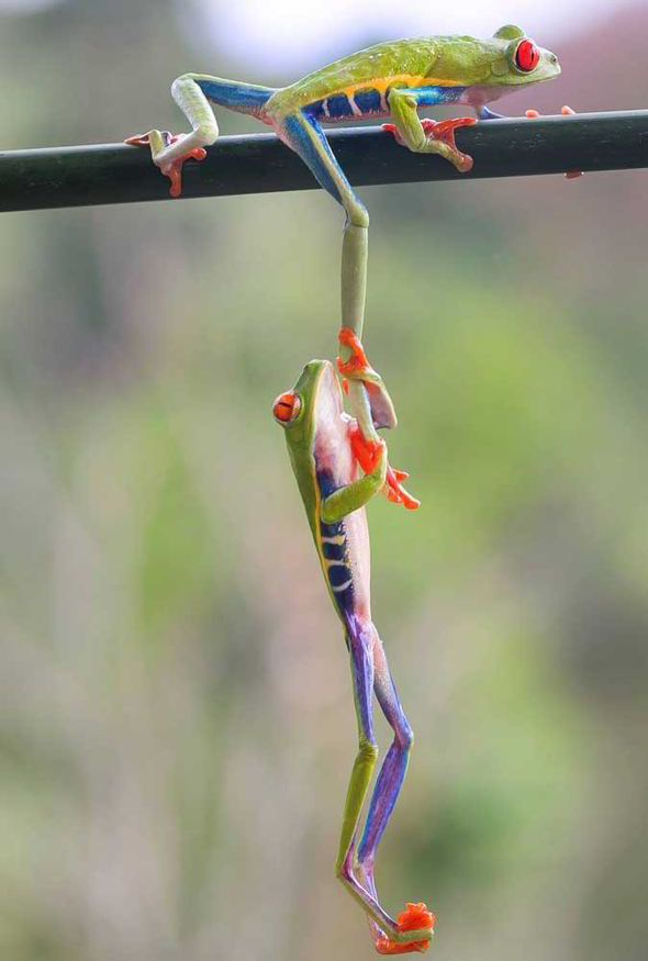 A great friend will always lend a hand...or even a leg in the case of these tree frog's! (photo: Caters)