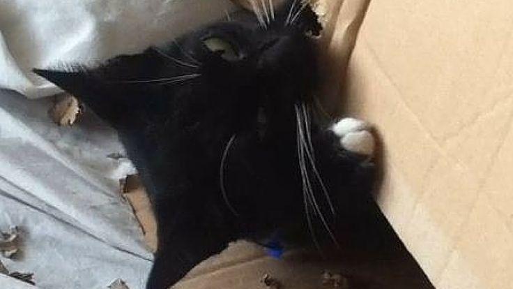 Mittens the Ninja Princess vs The Cardboard Box #Cutecat #Catvideo #Cat #Blackcat #Adorable #Adorablecat #Hopecats #mittens