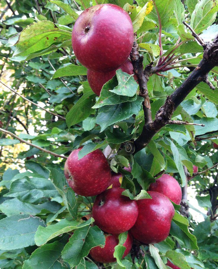 Ingrid Marie æbler, søde og saftspændte.