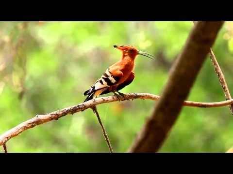 African Hoopoe calling its mate - YouTube