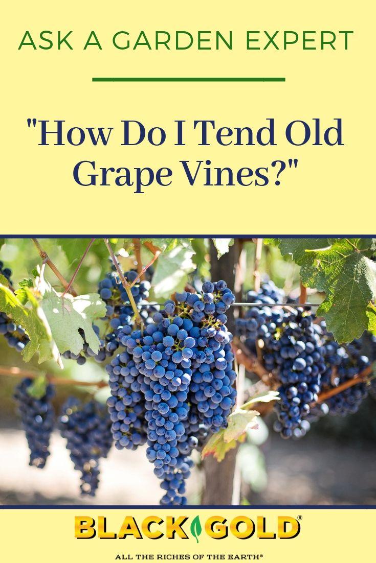 How Do I Tend Old Grape Vines Grape Vine Pruning Grape Vines