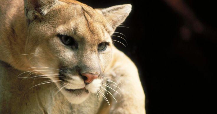 Cómo asustar y alejar a los pumas. El puma, también conocido como león de montaña, es el felino más grande que habita en todo el Hemisferio Occidental, en Canadá, Estados Unidos, México y América del Sur. Es la especie de gatos más grande que se encuentra en América del Norte. Ellos viajan solos y pueden pesar hasta 180 libras (81, 64 kg). Tienen fuertes mandíbulas y sostienen a su ...