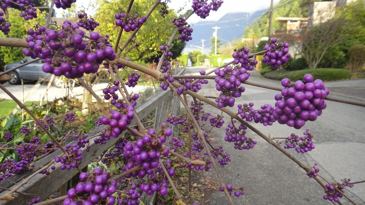 My photo of callicarpa bodinieri; stunning purple clusters on bare wood