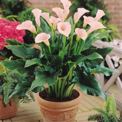 Calla Lilly Pots I Love Calla Lillies But They Are So