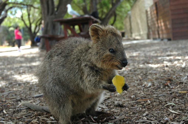 Beautiful! A Quokka on Rottnest Island, Perth. These guys are super rare and friendlier than your cat!