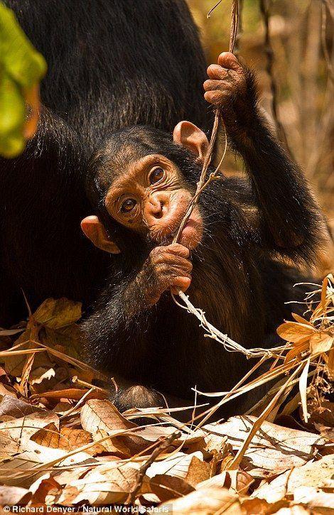 Chimpanzee infant