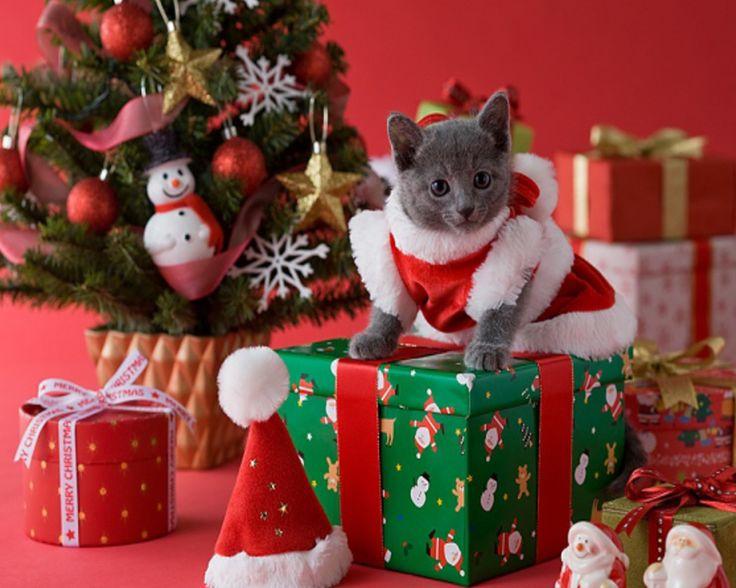 126 Best Christmas KIttens Cats Wallpaper Images On Pinterest