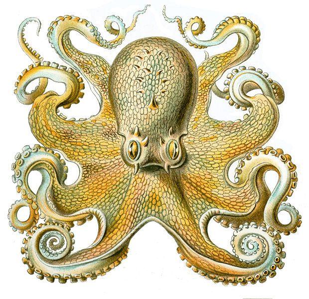 Ernst Haeckel octopus