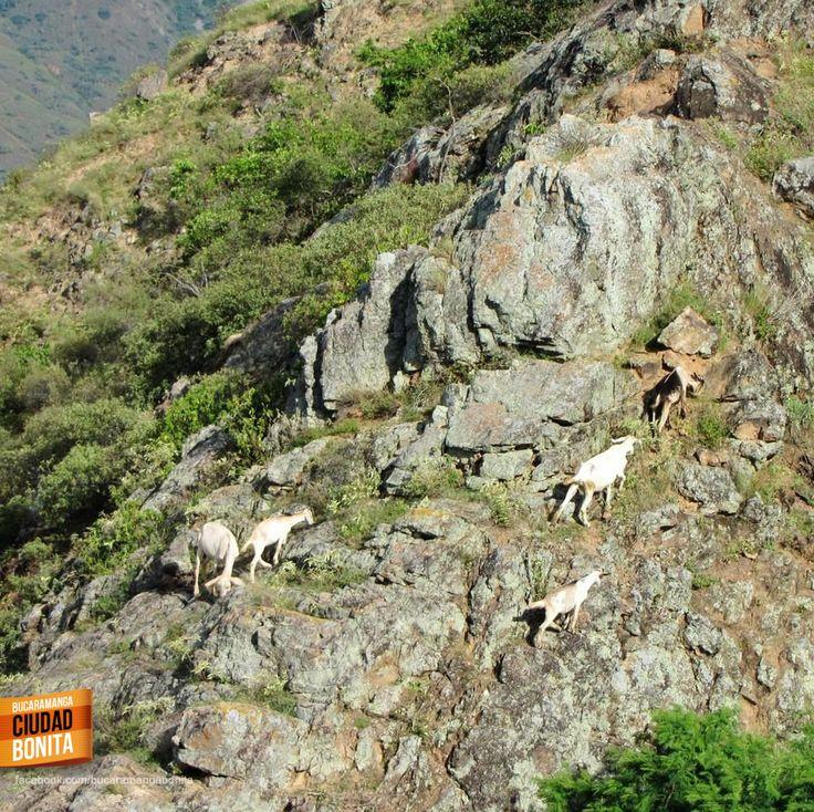 #MuyNuestroBUC Cabritos en Cañón Chicamocha, simbolo de fortaleza de los Santandereanos. Gracias @Oscar_Fer_P por la foto.