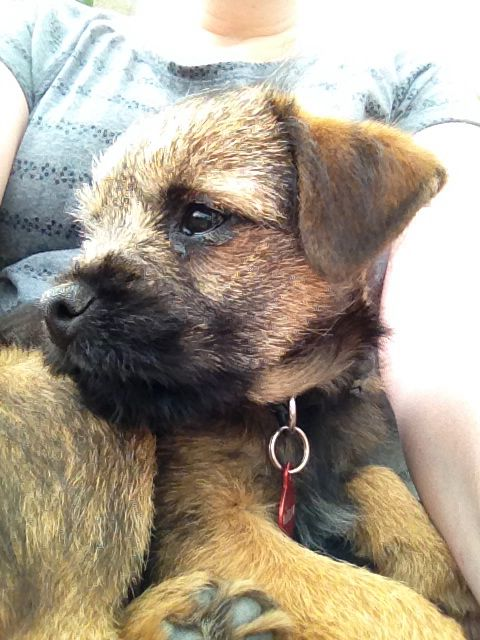 Border Terriers Chilled Pip