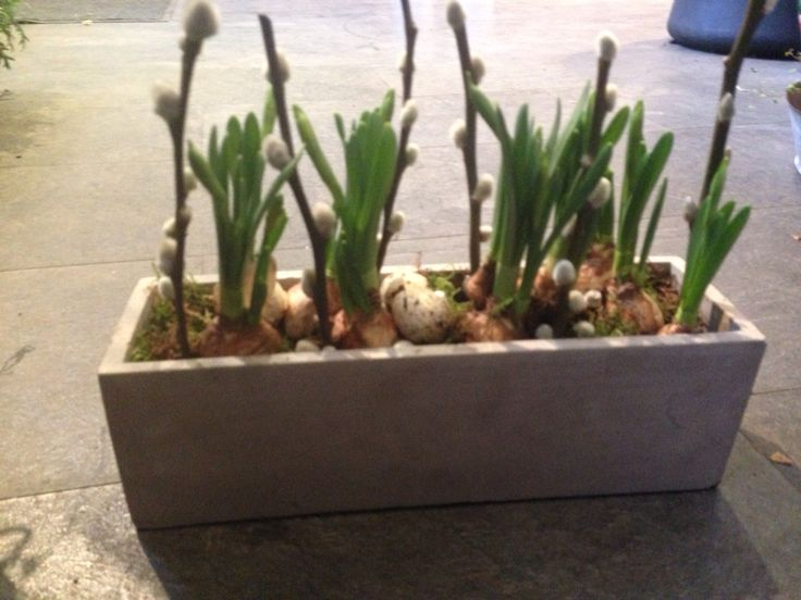 Planting, påskeliljer