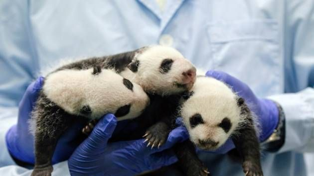 Panda Triplets: The Picture Editor has left the building to try and find one of these to cuddle for himself.....