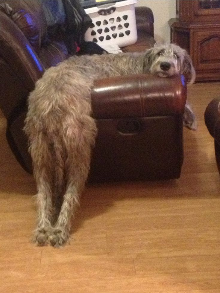 We have one who waits for you to pull her back legs up onto the sofa even though she could jump over the thing. S.