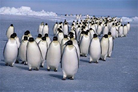 Emperor penguins (Aptenodytes forsteri) returning to rookery from feeding at sea, Antarctic.
