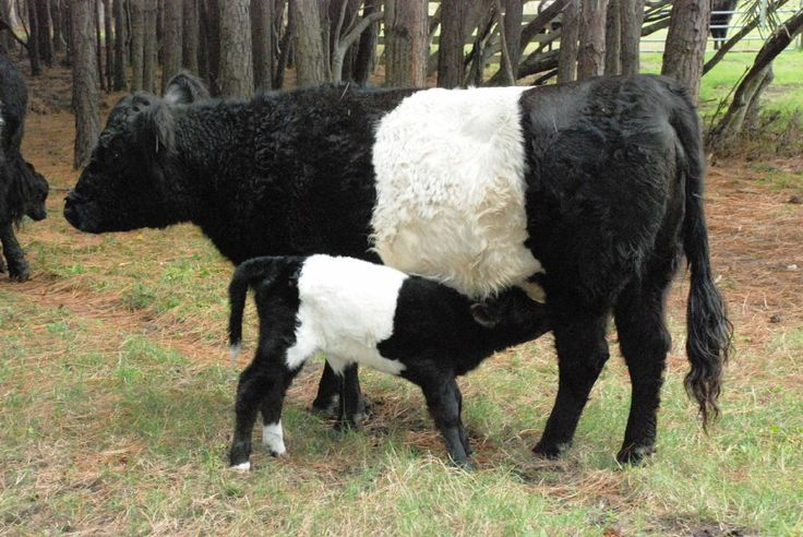 Belted Galloway cow and calf... In the United States, Belted Galloways are often nicknamed Oreo cows because their color pattern is reminiscent of an Oreo cookie..