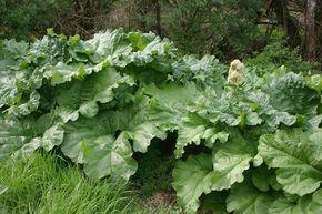 décoction de feuilles de  rhubarbe contre les pucerons. Ne se conserve pas sinon fermentation