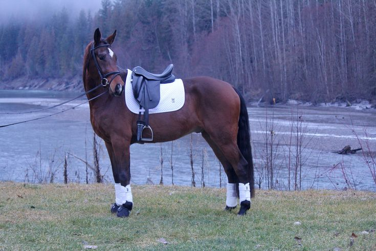 WINGMAN DMV - 2014 - HANOVERIAN GELDING.     #equestrian #warmblood #horses #dressage