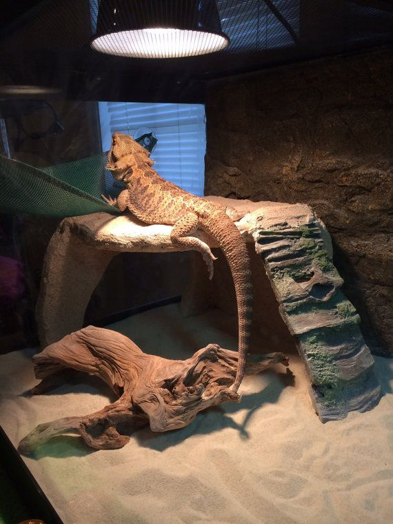 10 Best Images About Beardie Stuff On Pinterest