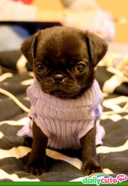 So adorable!: Pink Sweater, Black Pugs Puppys, Sweaters, Dogs, Sweet, Pet, Adorable, Baby Pugs, Animal