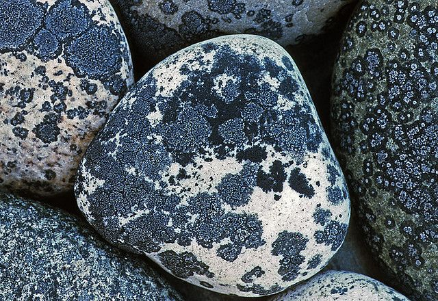 Galets bleus de lichen Buellia Stellulata. / Buellia Stellulata seashore pebbles. / Widbey Island, Washington,. / USA. / By Richard Droker.