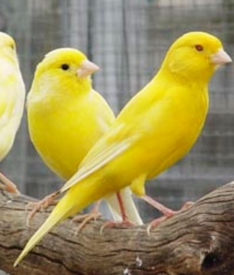 for a pile of canaries