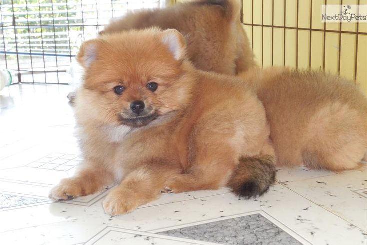 pomeranian puppy chicago 45 best chicago hugable puppies images on pinterest 1705