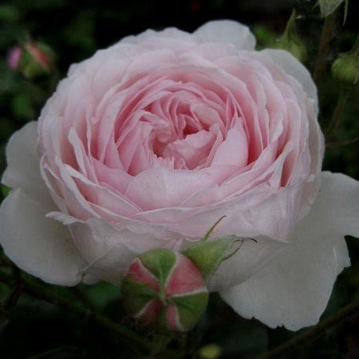 best 25 rosier buisson ideas on pinterest fleur rouge d amour fleur and bouquet de garden roses. Black Bedroom Furniture Sets. Home Design Ideas
