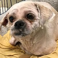 Poughkeepsie, New York - Lhasa Apso. Meet Bailey, a for adoption. https://www.adoptapet.com/pet/20933578-poughkeepsie-new-york-lhasa-apso