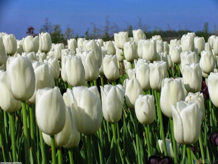 Tulip <3