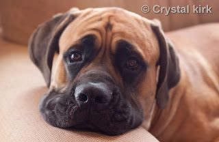 """The Giant Ones ~ Old English Mastiffs: Preview """"Our beautiful Big, and furry kids__."""""""