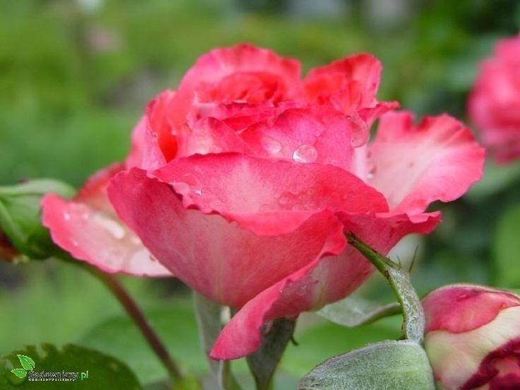 Róża 'Antike' Licencjonowana® RZADKOŚĆ!