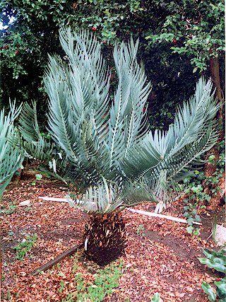 Encephalartos Dolomiticus Wolkberg Cycad Wolkbergbroodboom S A no14,4