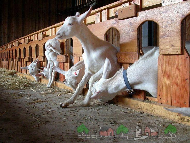 Домашние дойные козы в помещении