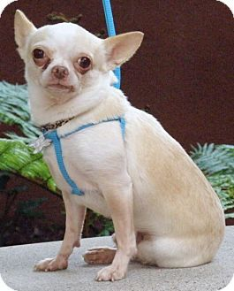 BENNY a Chihuahua for adoption in Anaheim Hills, CA who needs a loving home.Benny is a 3 year old, 6 lb. Apple Head Chihuahua. He walks well on a leash, does well in the car, loves to snuggle, and loves his lap time. He is shy at first meeting but once he gets to know you he's so very sweet http://www.adoptapet.com/pet/14389653-anaheim-hills-california-chihuahua