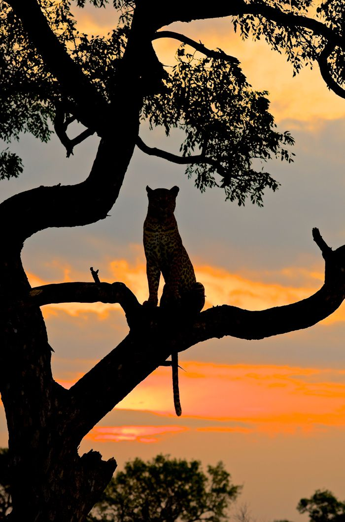 Leopard on a tree during sunset