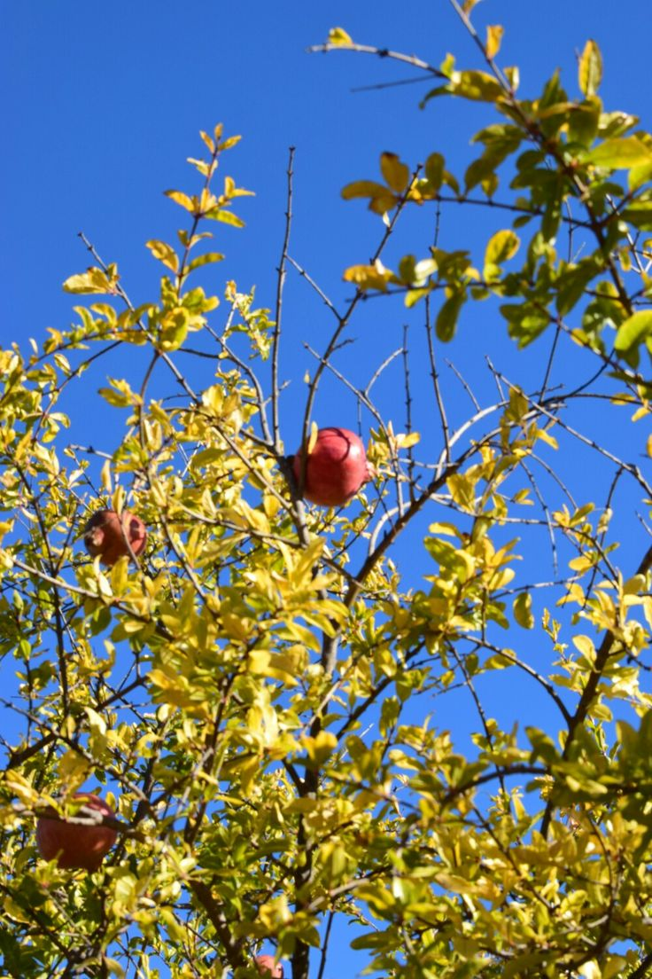 Pomegranate tree in Silves