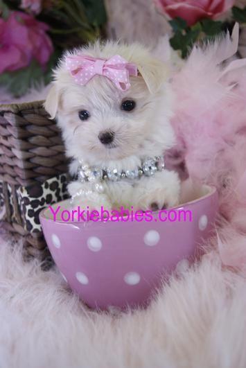 teacup maltese, teacup maltese for sale, teacup maltese for sale south Florida, teacup maltese puppies, maltese puppies south Florida, toy maltese,  Maltese puppy, Micro Maltese, Pocket maltese