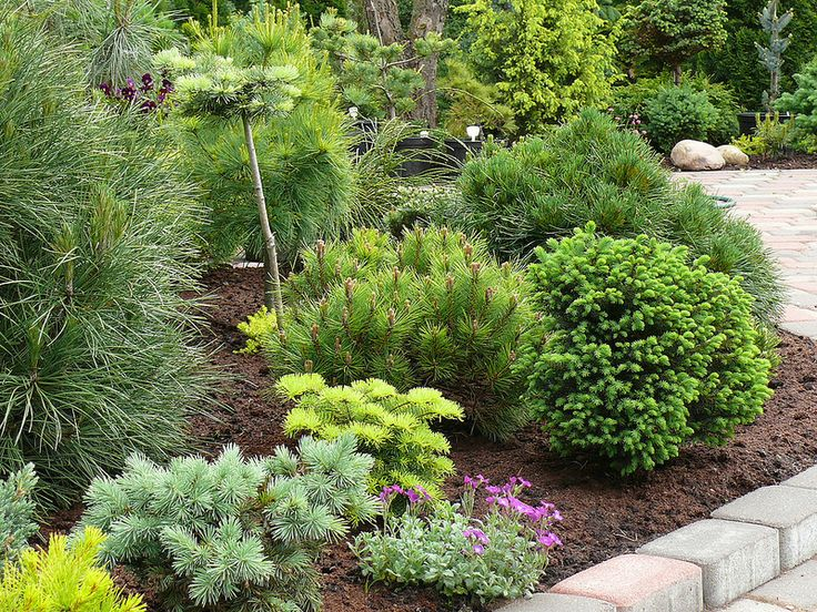 Landscaping With Conifers Conifer Borders Pinterest