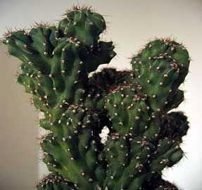 M s de 25 ideas incre bles sobre cactus tipos en pinterest for Clases de cactus
