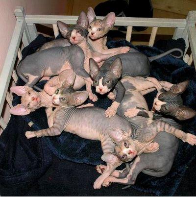 Sphynx Kittens<3