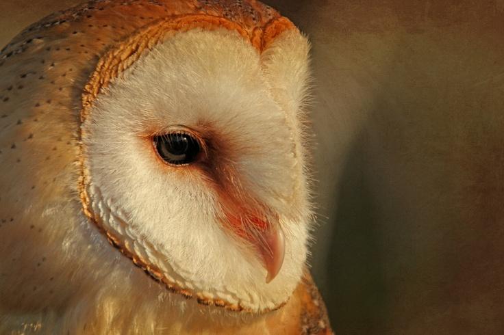 Barn owl portrait: Natural Photography, Beautiful Barns, Barns Owl, Daniela Duncan, Owl Portraits, Birds Species, Birds Boards, Feathers Friends, Barn Owls