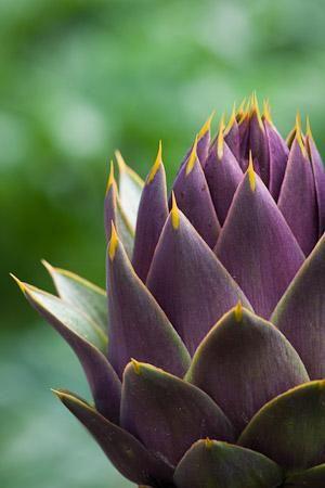 Artichoke 'Violet de Provence ' - Globe Artichoke Sow Direct in July for the next year