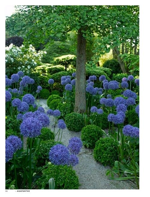 Agapanthus and boxwood lined path