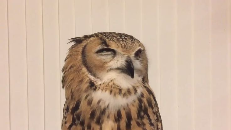 #Owl Sneeze (tap for sound) Video   Owl, Cute owl, Owl ...