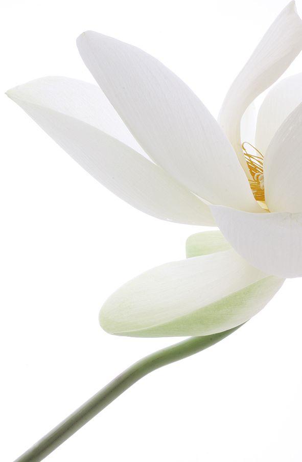 artemisdreaming:    Fleur de Lotus, Lotosblume Bahman Farzad