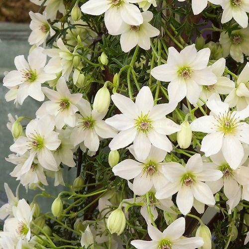 Clematis Early Sensation (groenblijvend). Bloeit in april-mei met stervormige witte bloemen. De twijgen halen een hoogte van 2,5 m.